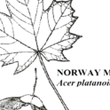 Norway Maple Leaf Illustration